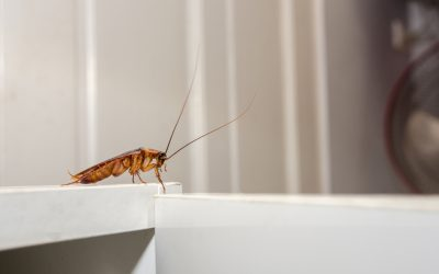 Types of Roaches